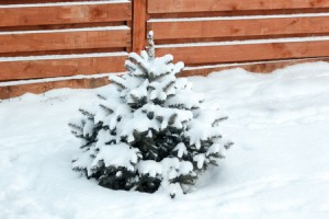 small young blue spruce covered with snow